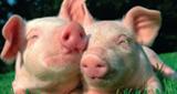 Schlagerschweinchen